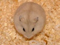 Bánh Mì Chuột